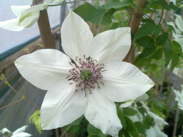clematis florida Pistachio interesting centre