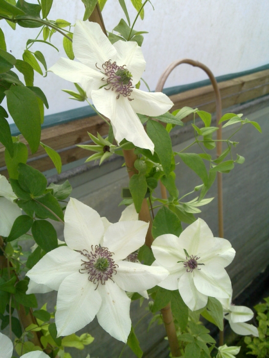 clematis florida Pistachio that soft colour
