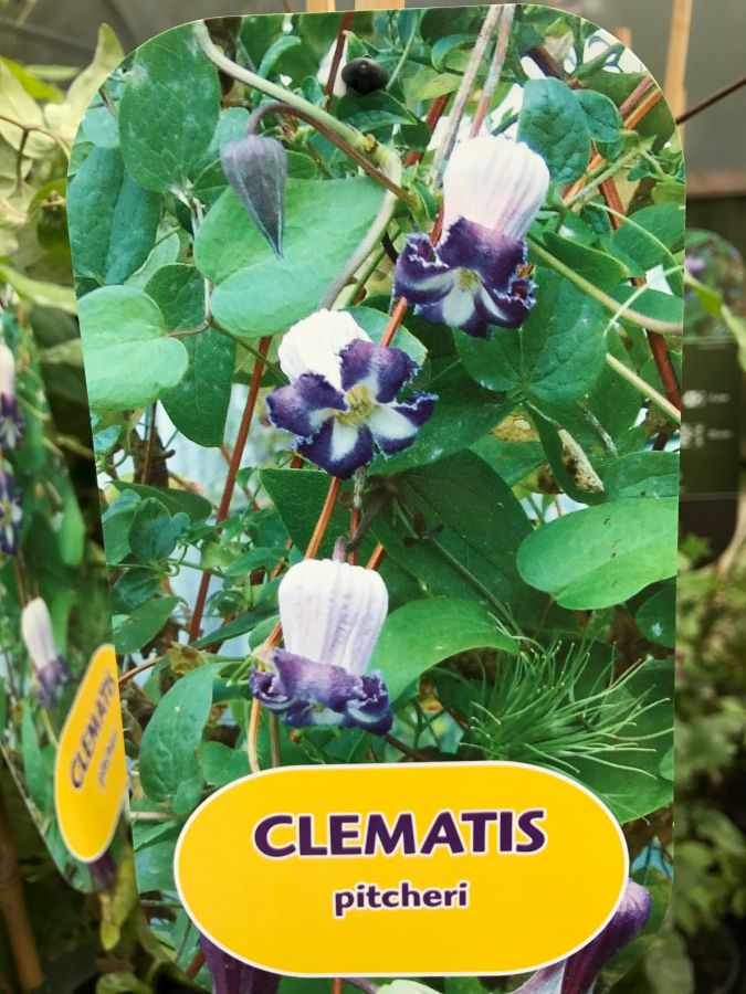 Clematis pitcheri