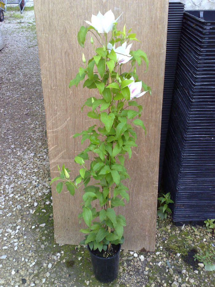 mature Clematis everytime