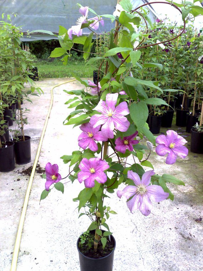 always 2 year old plants (taken july)