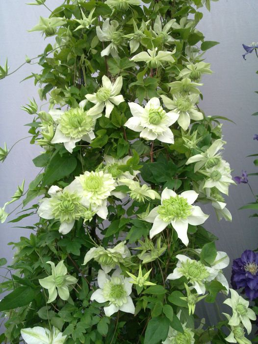 Clematis Plena in a pot