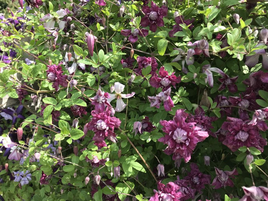 Clematis viticella Purpurea Plena Elegans on our arch in our garden