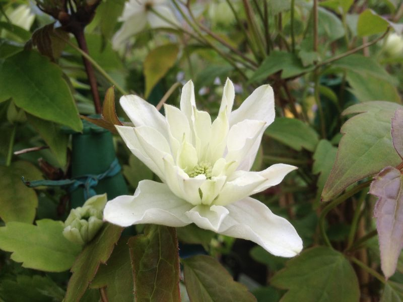 Clematis montana Primrose Star close up