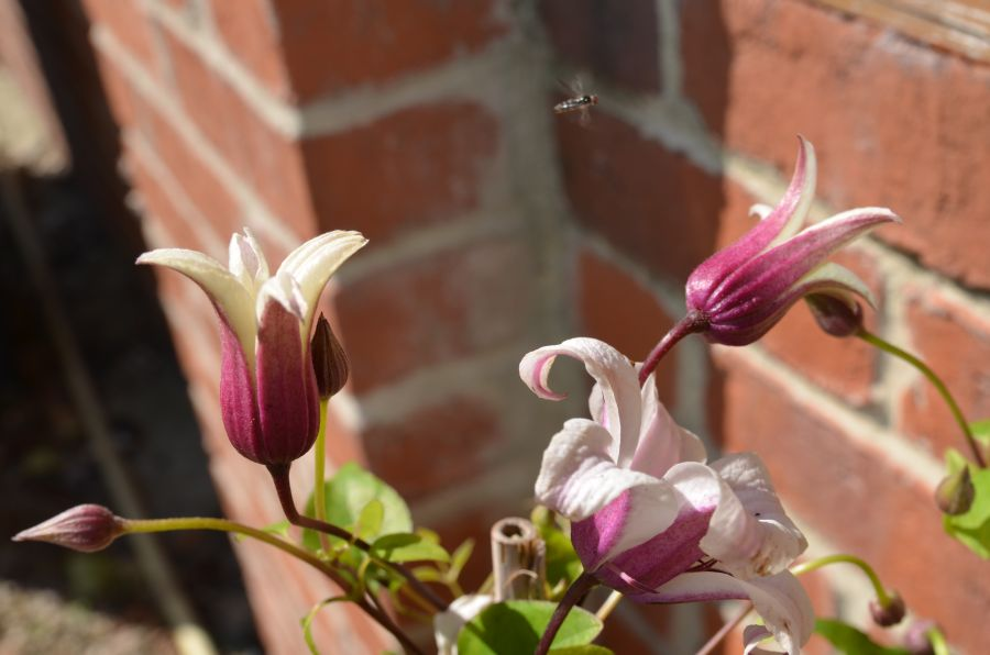 Clematis Princess Kate buds just opening