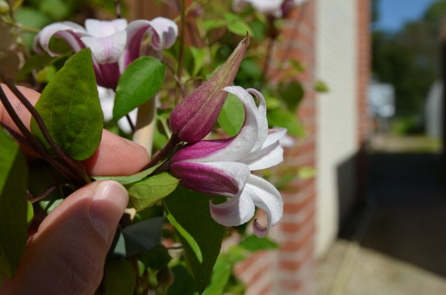 Clematis Princess Kate bud and flower next to my hand