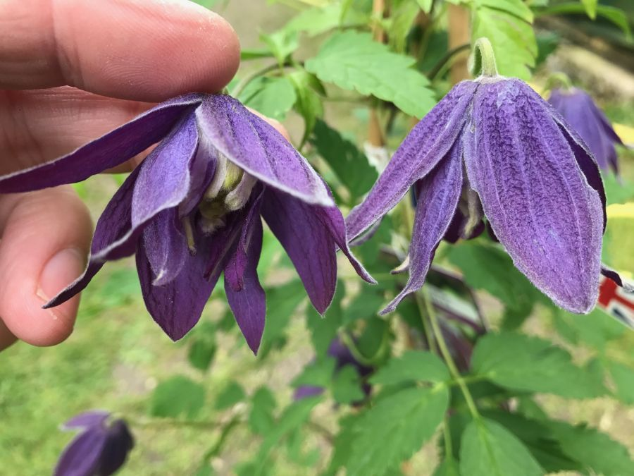 clematis macropetala Purple Spider fantastic blooms