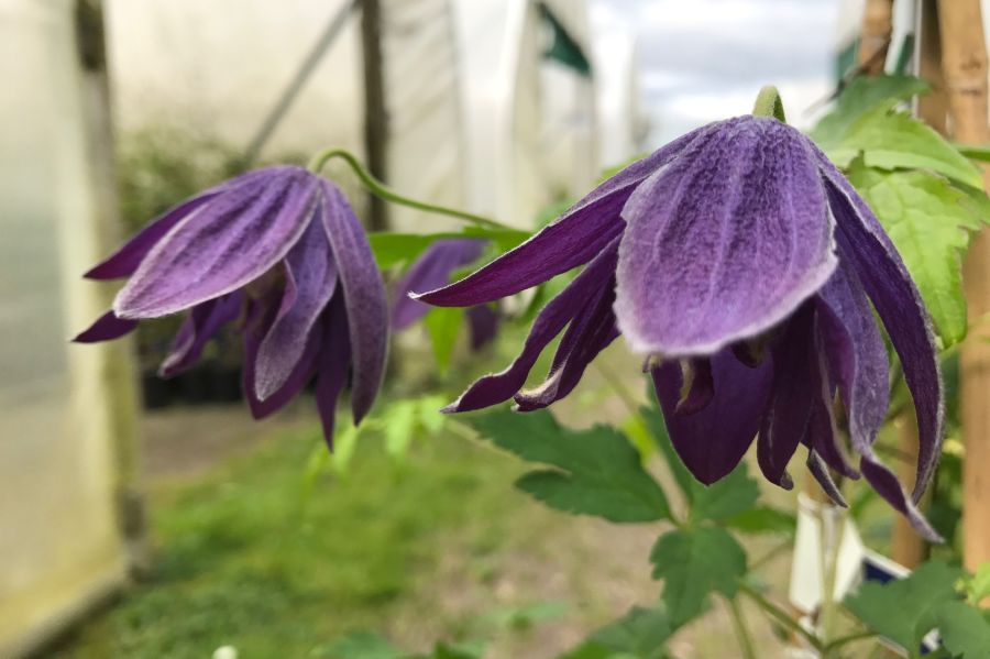 clematis macropetala Purple Spider really strong colourings