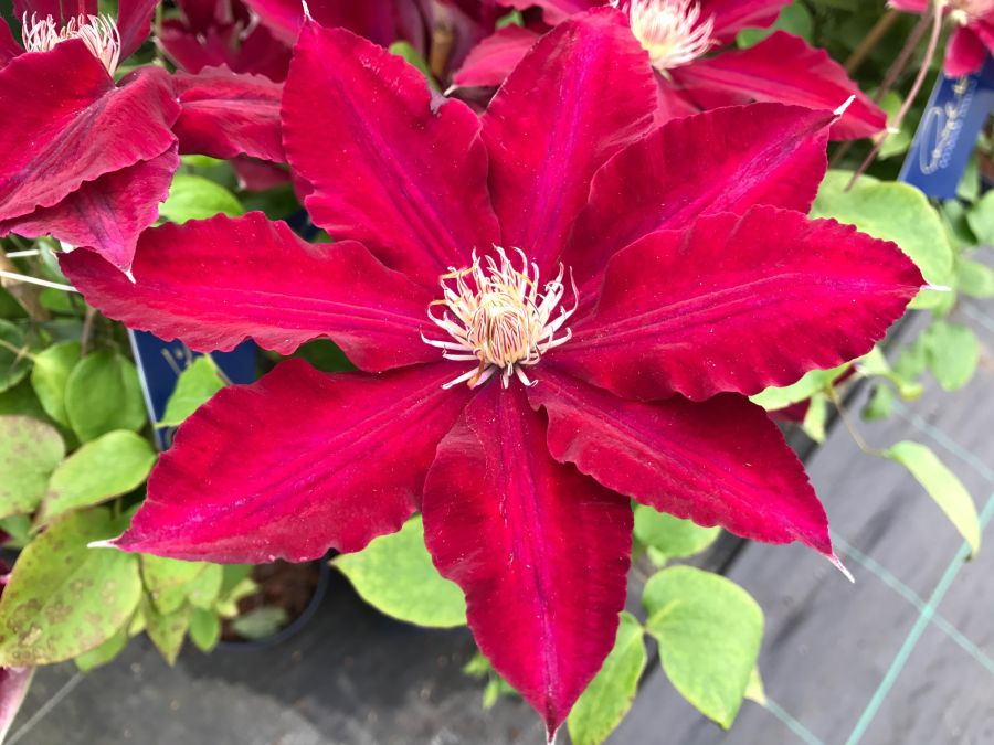 Clematis Rebecca nice big flowers