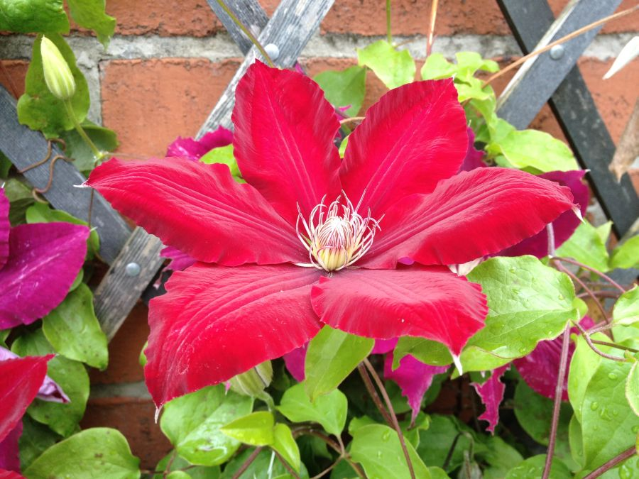 Clematis Rebecca great red colour