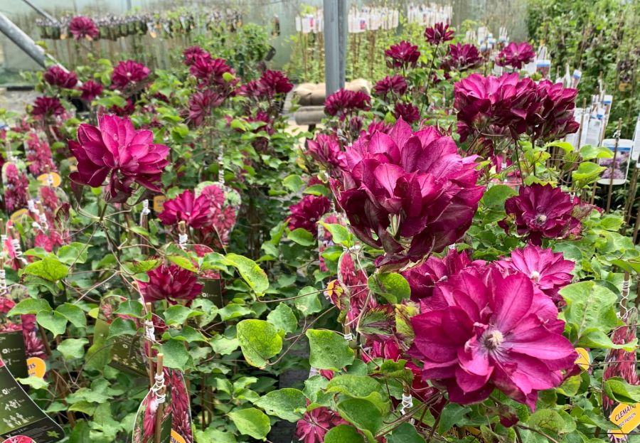 Clematis Red Passion