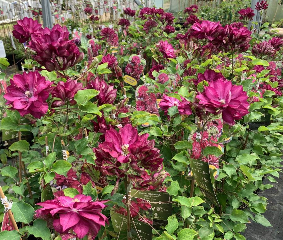 Clematis Red Passion mass flowers