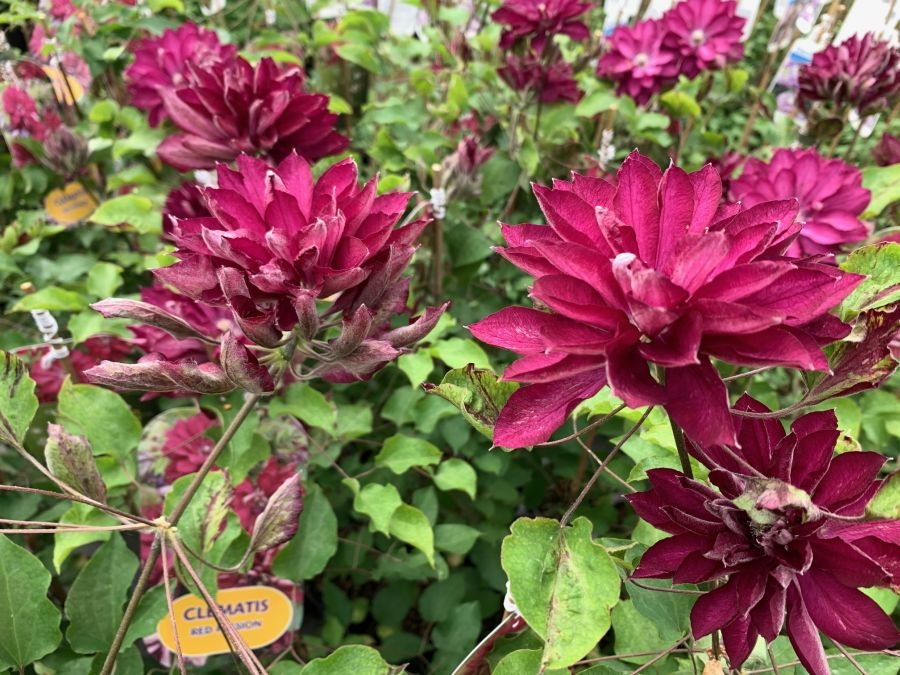 Clematis Red Passion great double heads