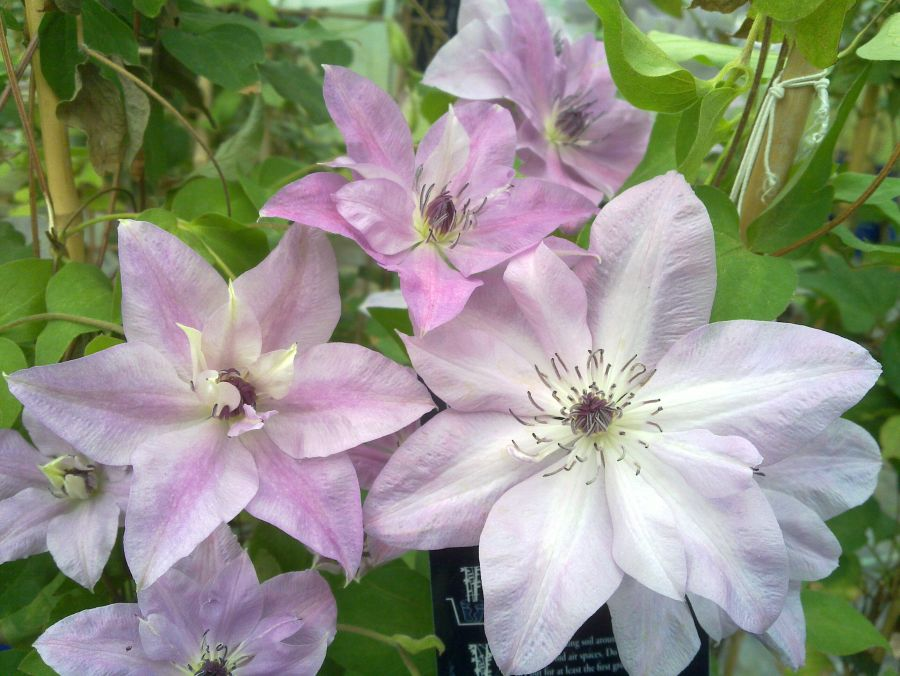 Clematis Reflections showing the differnt colours it creates