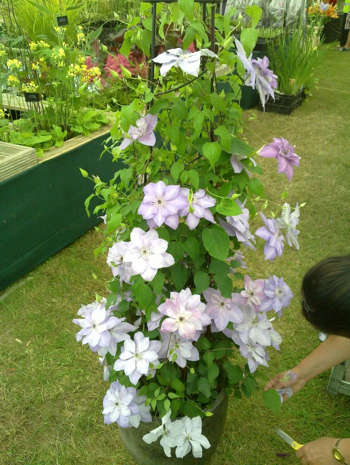 Clematis Reflections last minute dead heading before judging