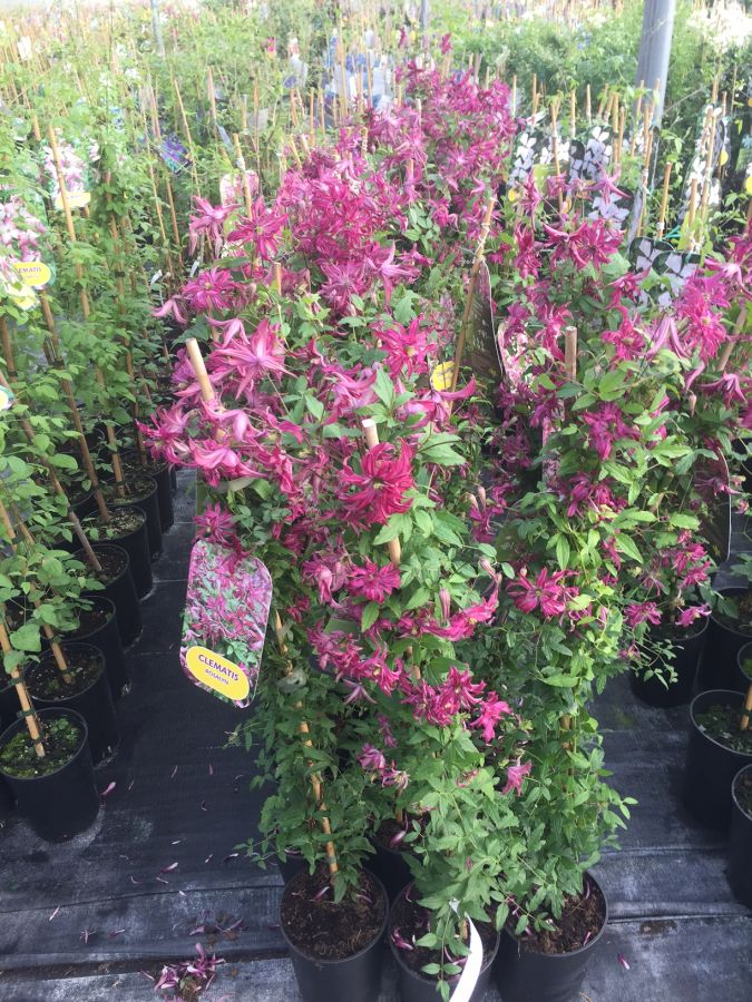 Clematis Viticella Rosalyn sales plants