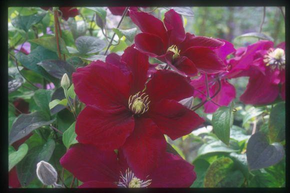 Clematis Rosemoor raymond evisons pic