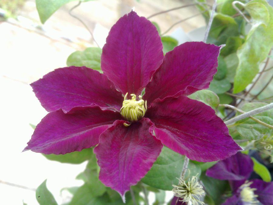 Clematis Rosemoor nice colour