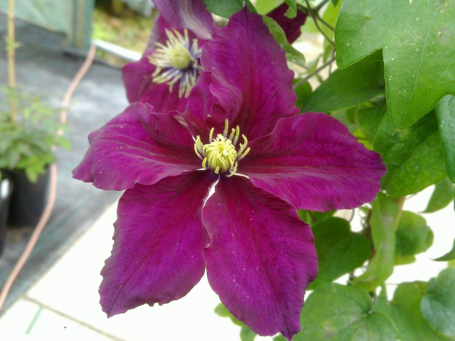 Clematis Rosemoor close up