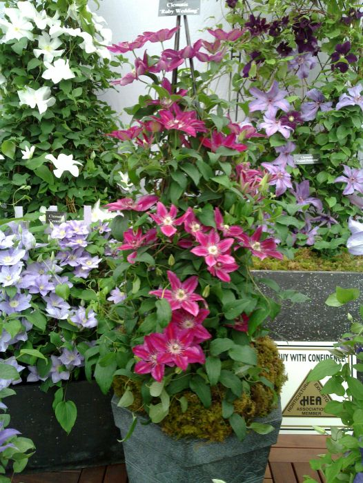 Clematis Ruby Wedding plant in a pot