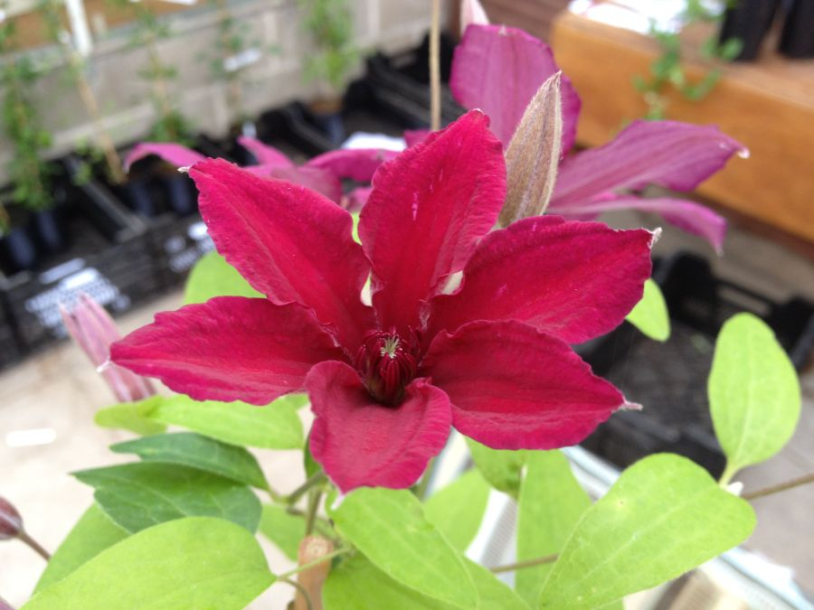 Clematis Ruutel just opening