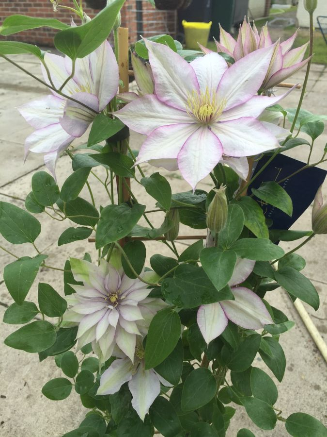 Clematis Samaritan Jo lots of blooms