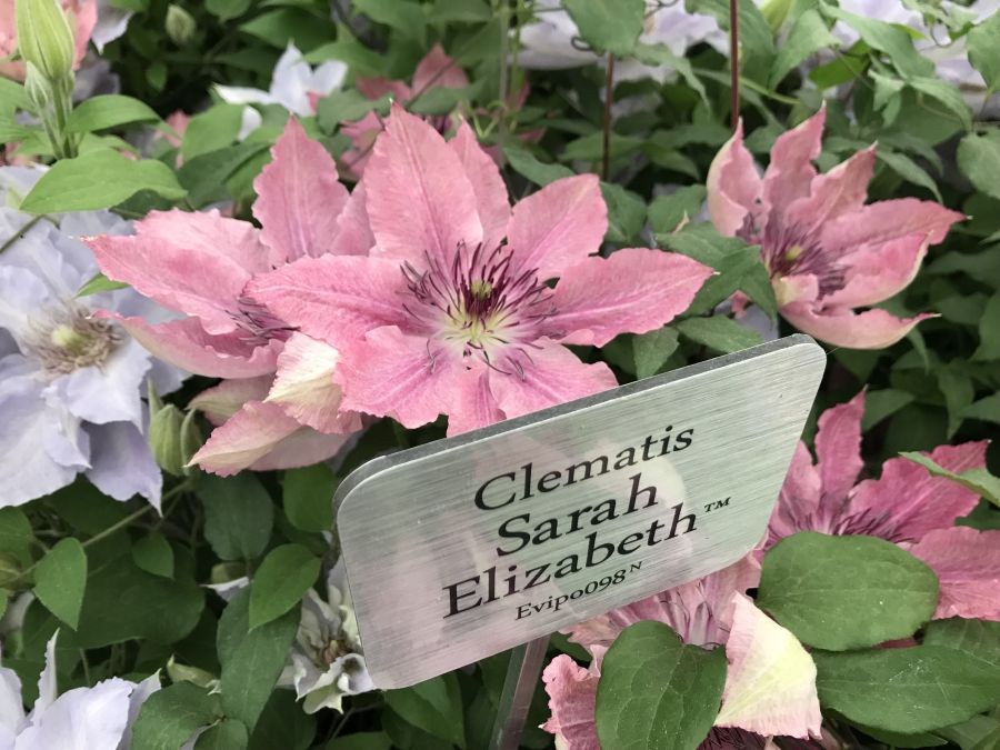 Clematis Sarah Elizabeth at the Chelsea launch