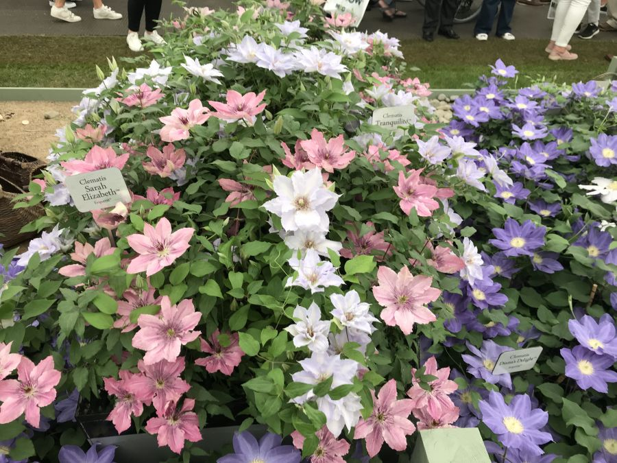 Clematis Sarah Elizabeth on display with tranquilite at Chelsea