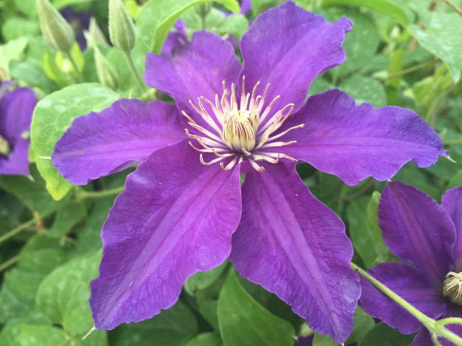 Clematis Sacha fully open