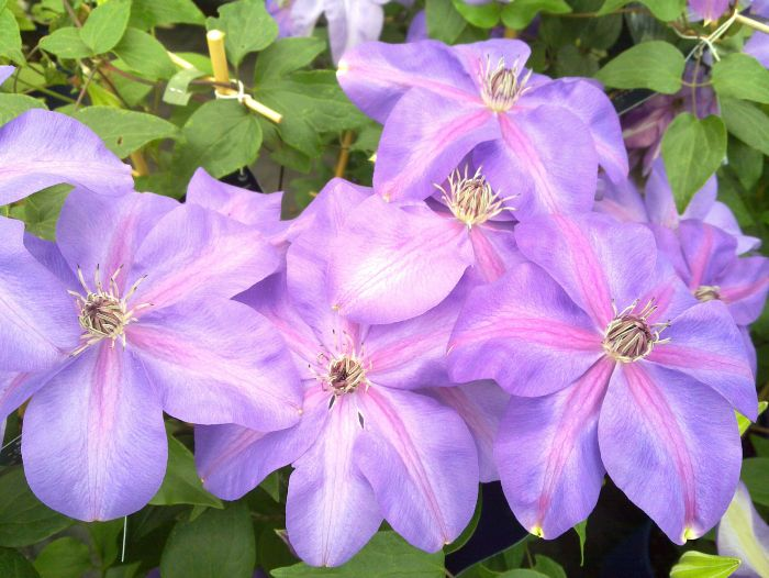 Clematis Shimmer group shot