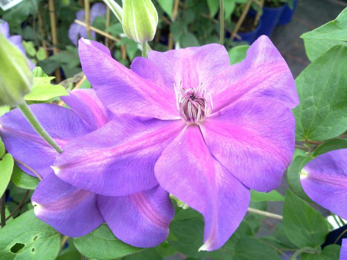Clematis Shimmer pair