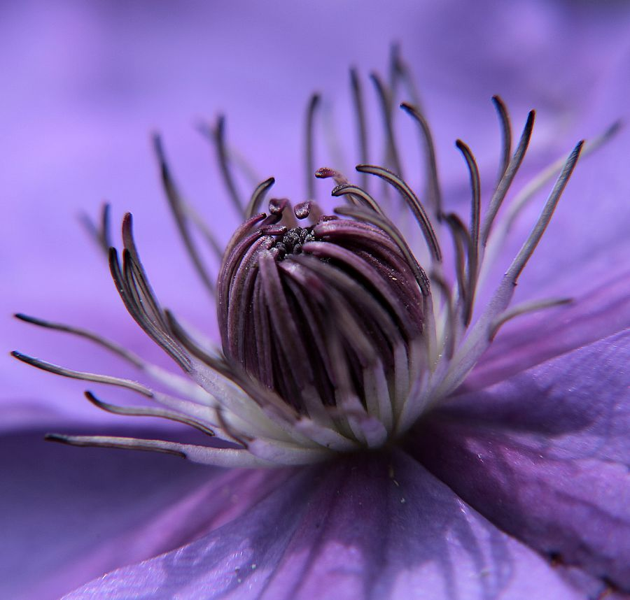 Clematis Shimmer close up on the stamens fully open