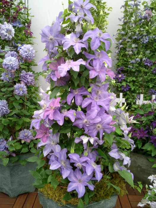 clematis shimmer in a pot