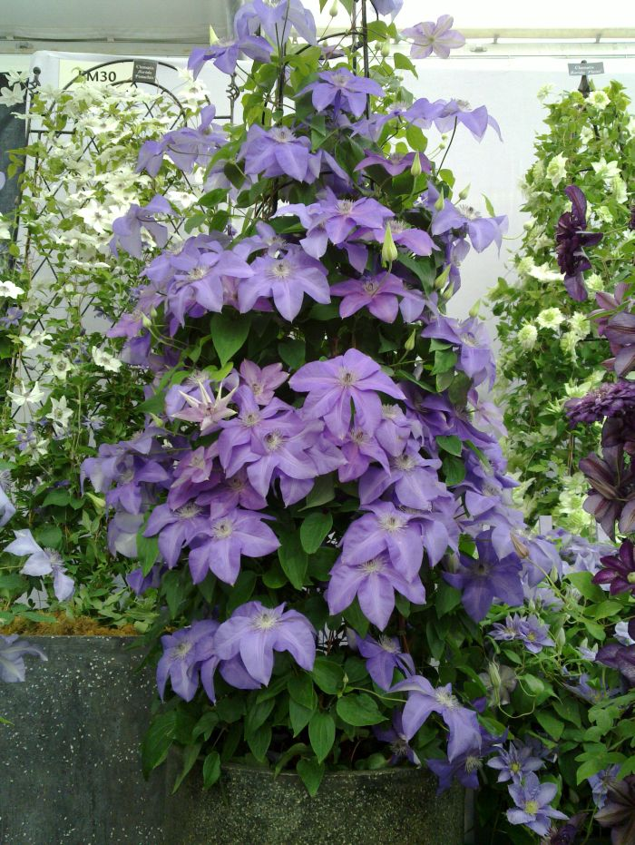 clematis shimmer in a pot at hampton court palace