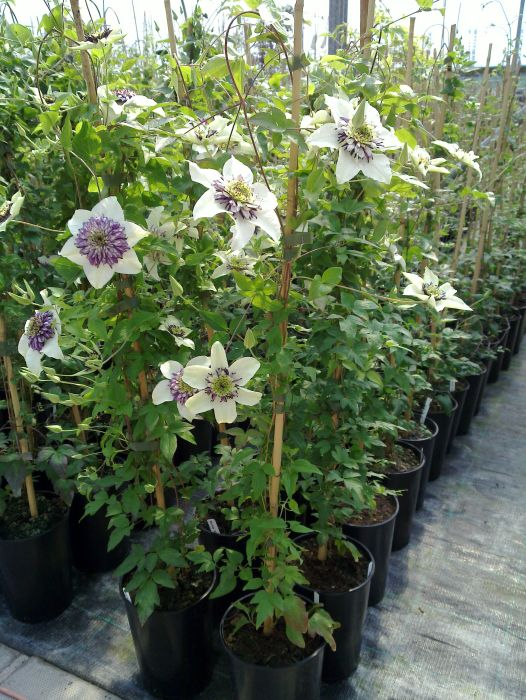 Clematis florida Sieboldii sales plants in June
