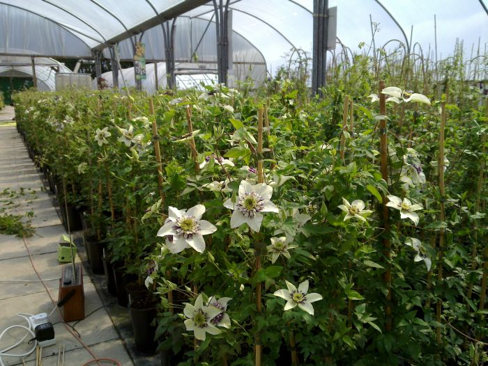 Clematis florida Sieboldii sales tunnel