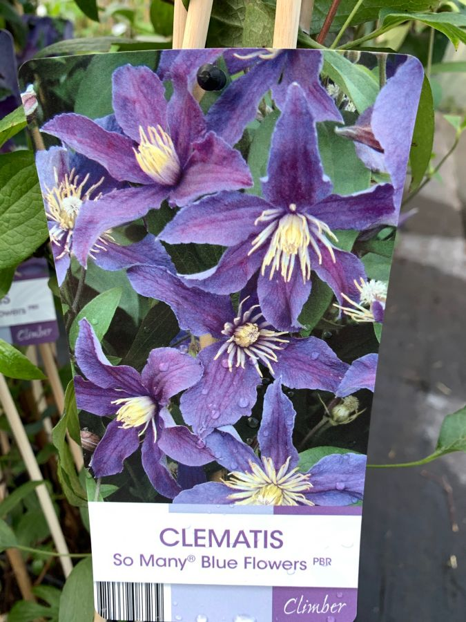 Clematis So Many Blue Flowers front of label