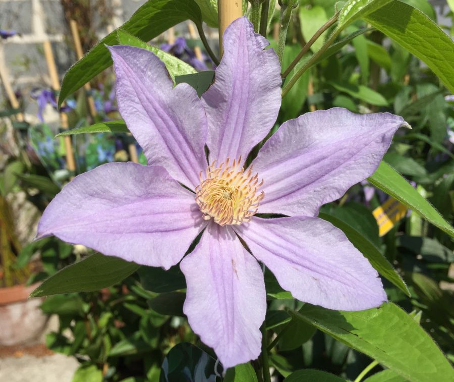 Clematis star river fully open