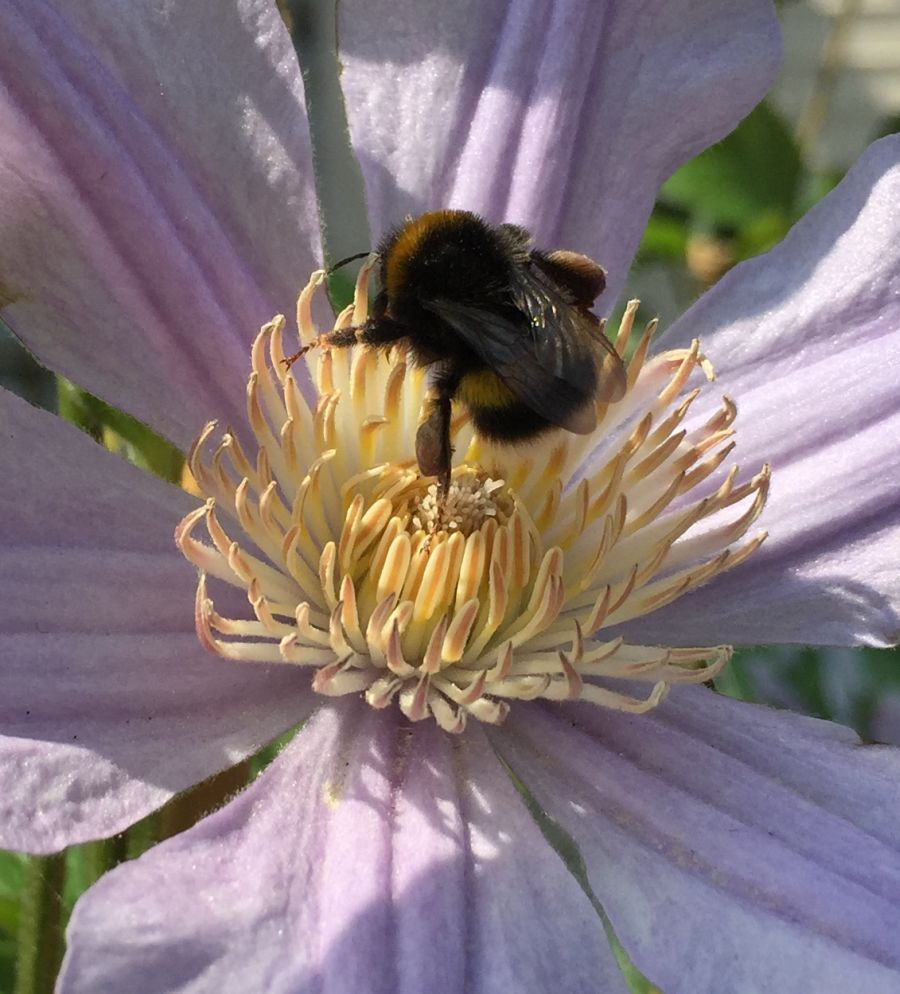 Clematis star river close up to a bee