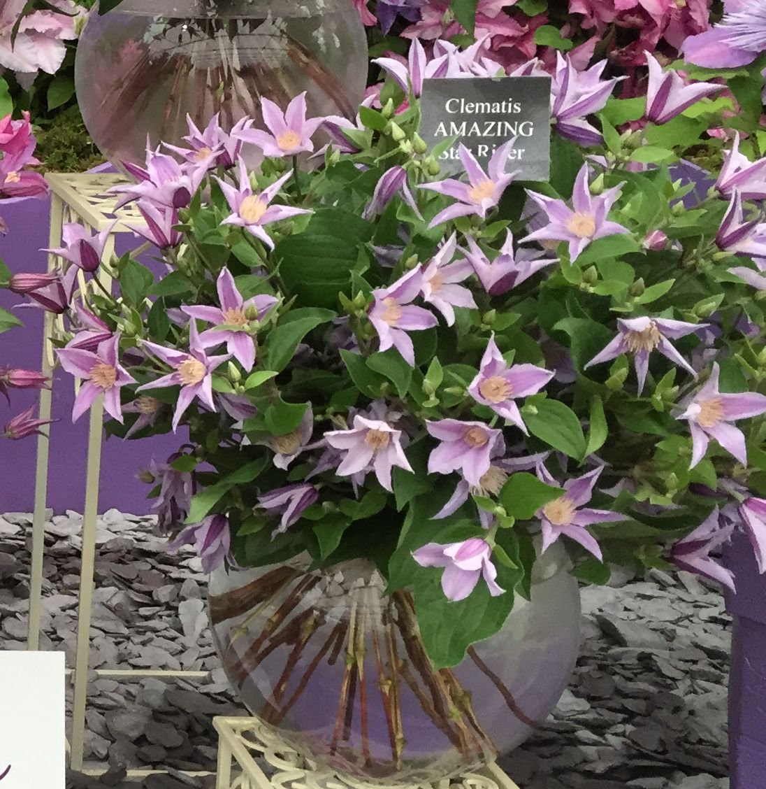Clematis star river at chelsea as cut flower