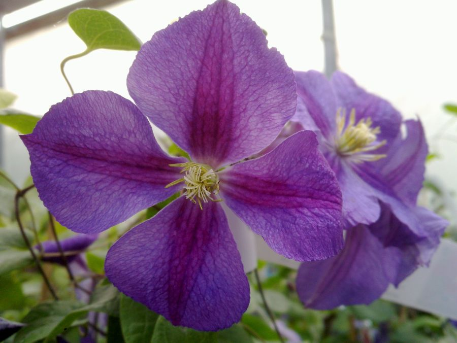 Clematis Star of India good close up