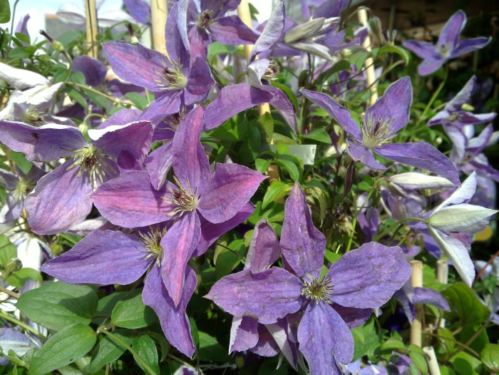 Clematis Sunny Sky