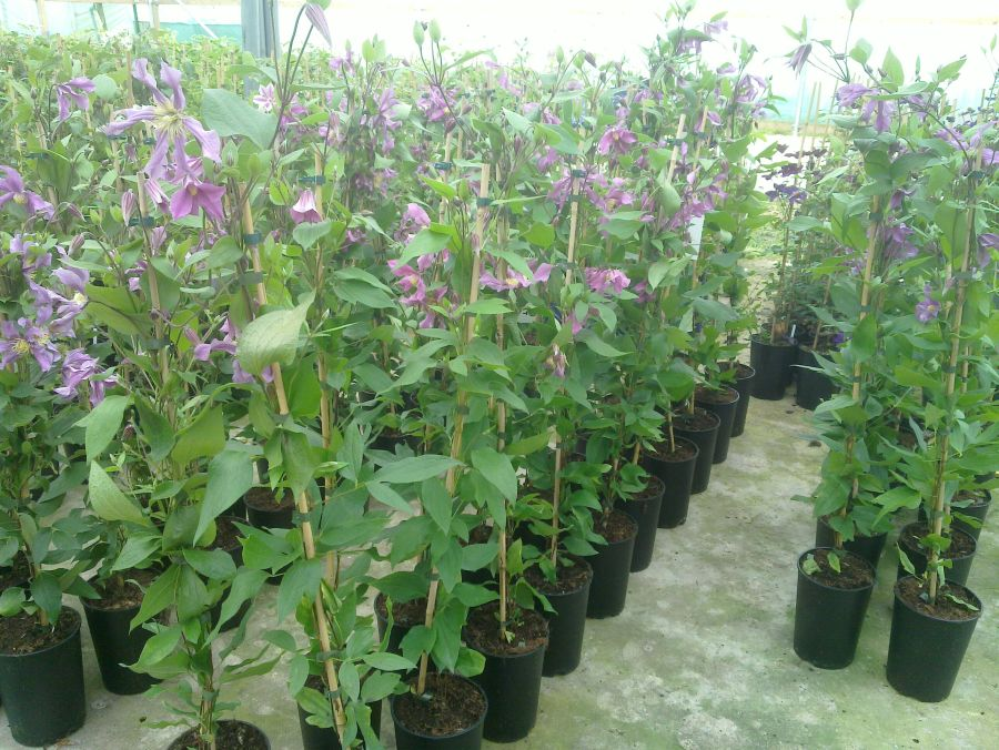Clematis Sweetheart sales plants