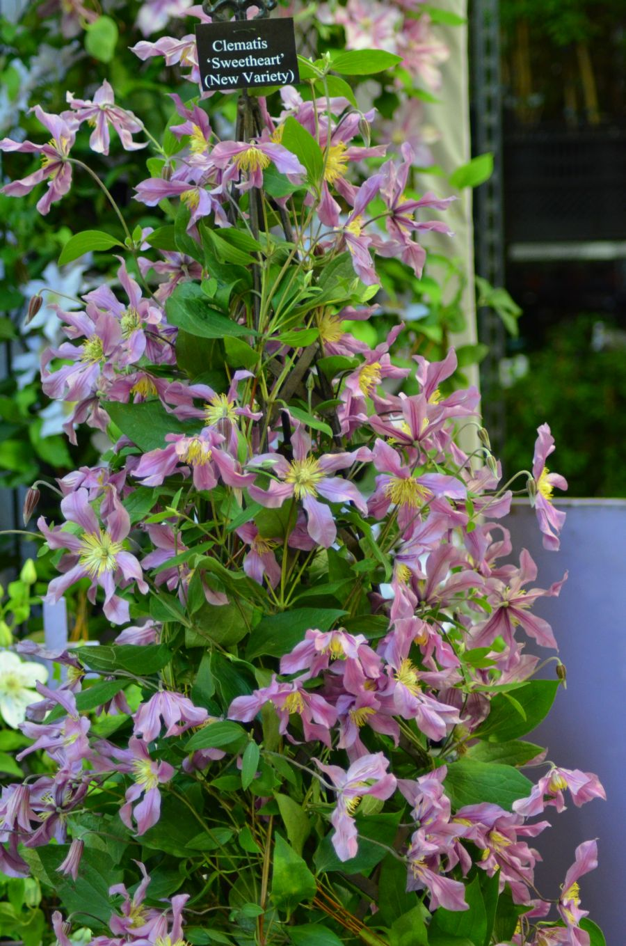 Clematis Sweetheart full pot