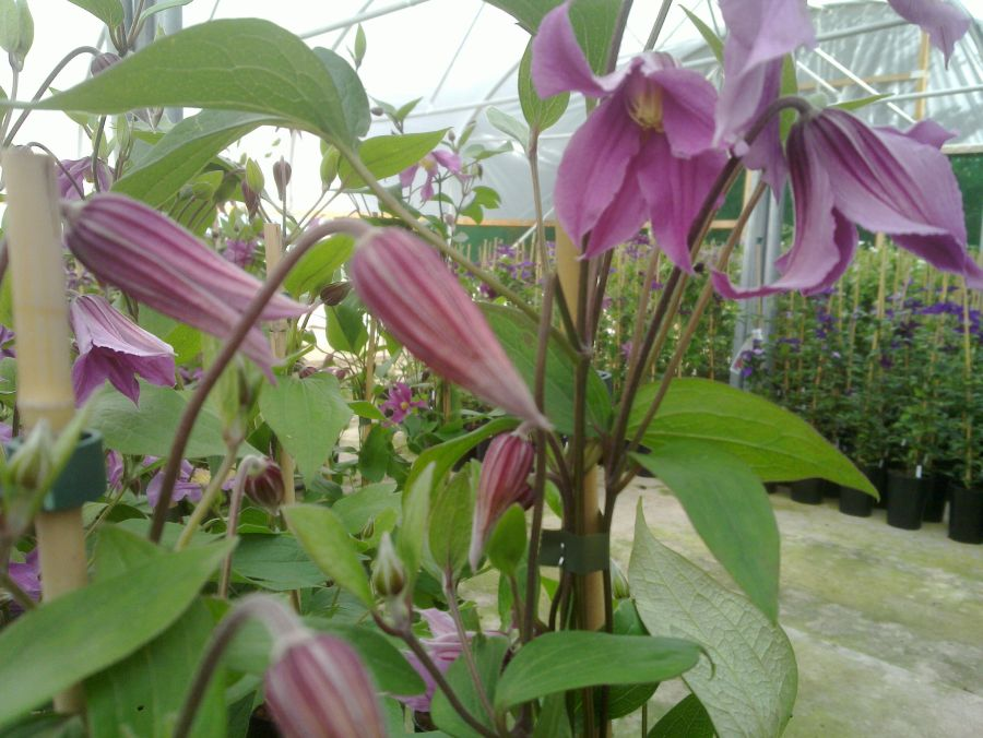 Clematis Sweetheart Just opening