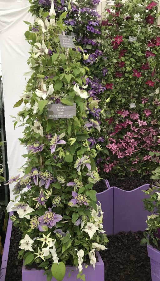 Clematis Taiga in a pot on an obelisk on our display