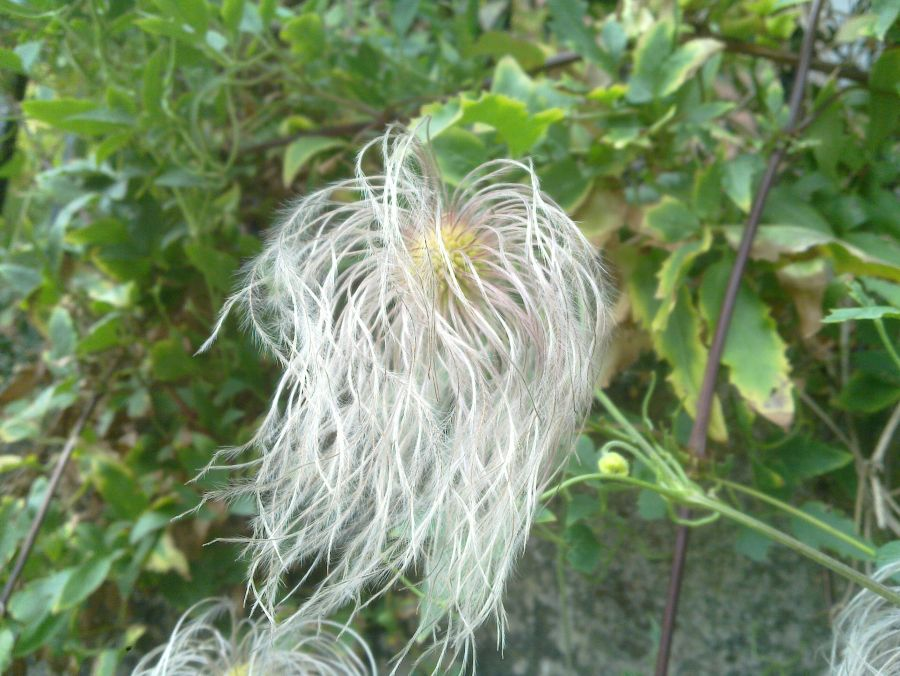 Clematis tangutica seed heads turning fluffy