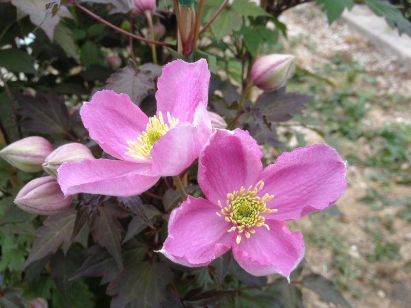 Clematis montana Tetraose nice deep pink