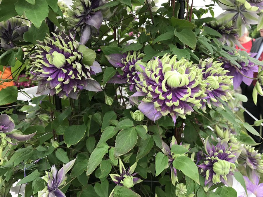 Clematis Taiga up close