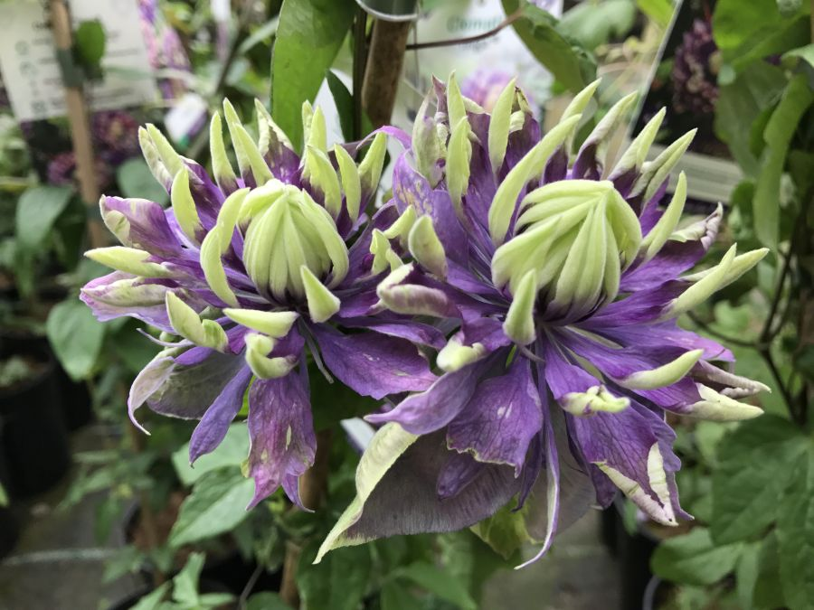 Clematis Taiga taken here on the nursery 2